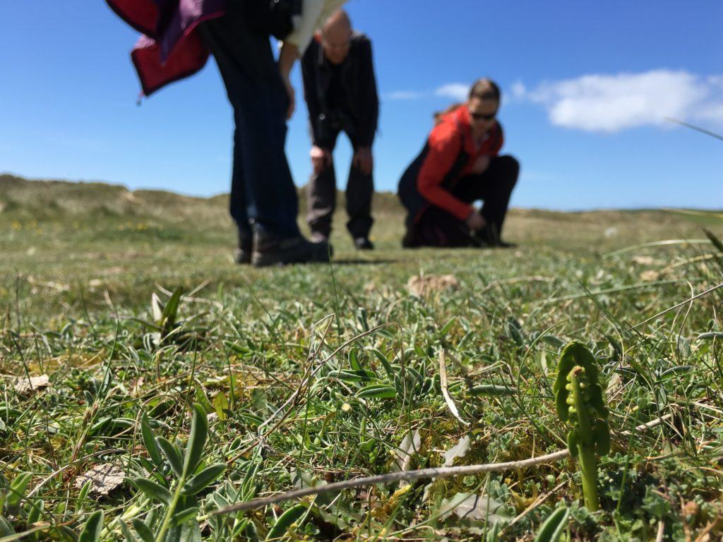 Finding Moonwort often involves getting down on your hands and knees!