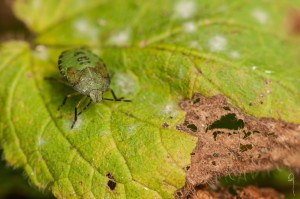 4th instar P prasina nymph photograph