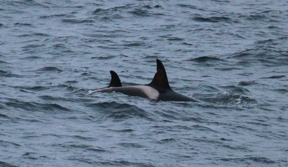 Meet 'Mousa' (number 19). She's already back on the Caithness coast from her winter feeding grounds off Iceland and she has a new calf with her!