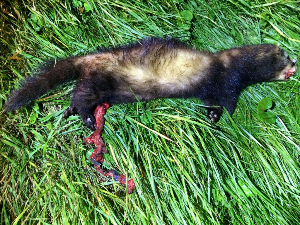 Sadly the majority of Polecat records come in the form of road victims, often not a pretty sight
