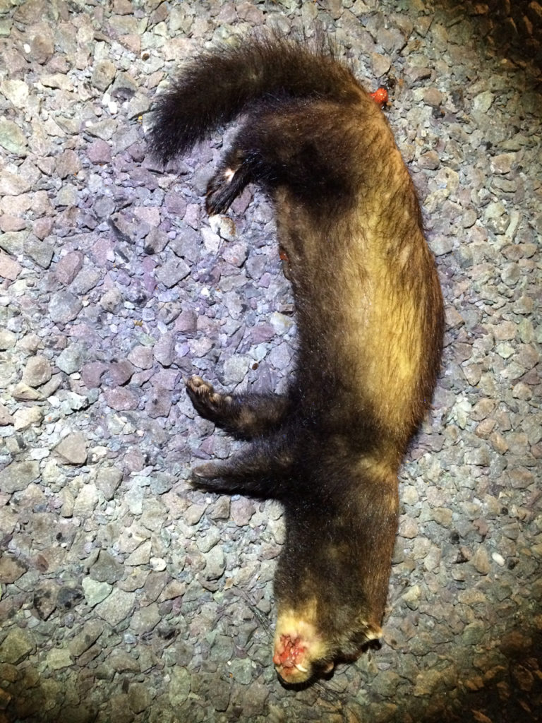 Norfolk's second Polecat found at East Wretham in October 2014