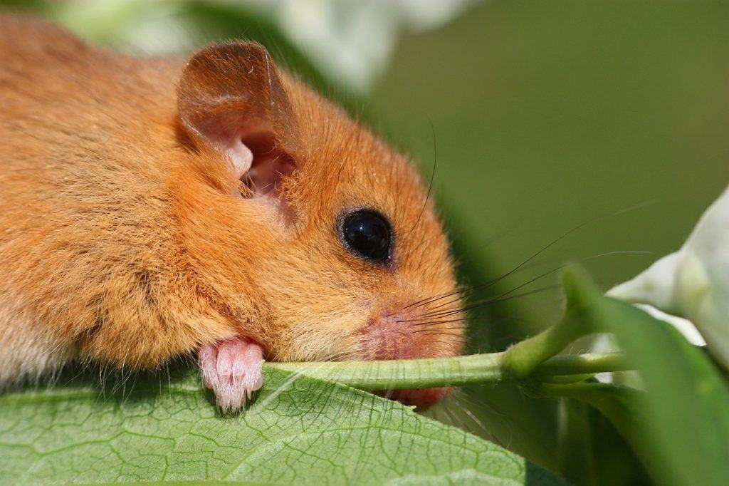 Would the conservation of species such as Dormouse suffer with an exit from the EY?