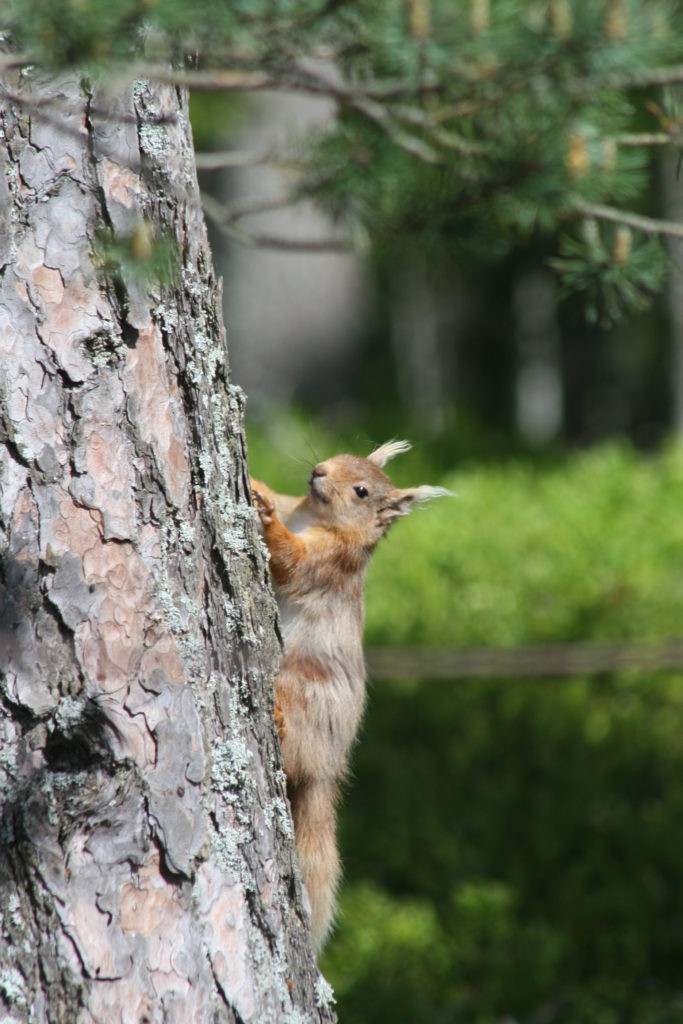 Red Squirrel - one of Scotland's most endearing animals