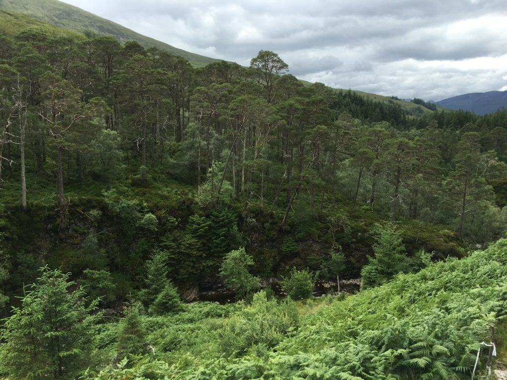 Caledonian Forest is not only beautifully scenic but also a rich and scarce habitat. Connecting the last remaining forest blocks is of value to both man and beast