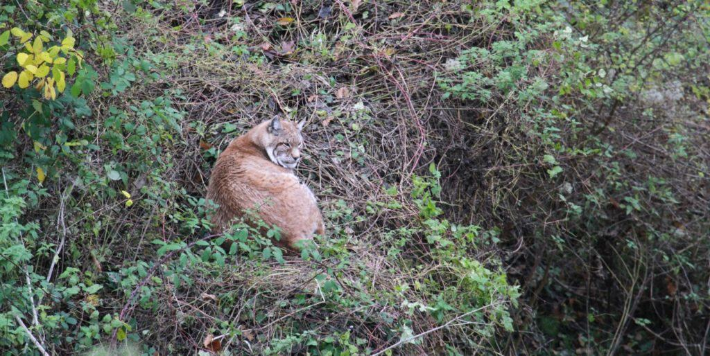 Could we see European Lynx prowling our forests again in the near future?