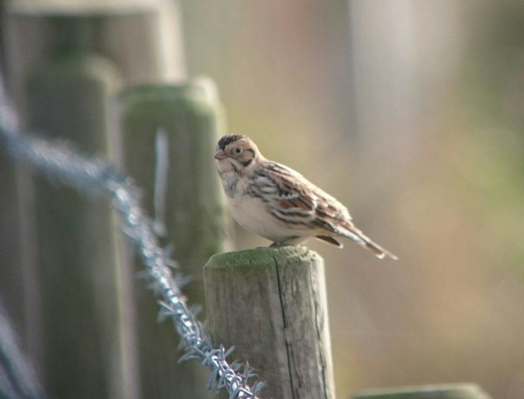 A Lapland Bunting digi-scoped. Birders are now using telescopes for digi-scoping and phone-scoping  on an every increasing basis. it provides a quick and easy way of getting good quality images, and even record shots