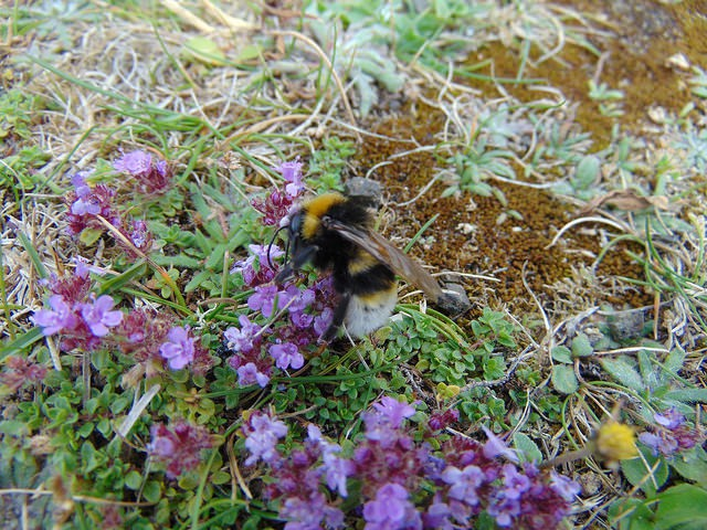 The Internet helped confirm that this is a Gypsy Cuckoo Bumblebee, (Bombus bohemicus), as opposed to Southern Cuckoo Bumblebee