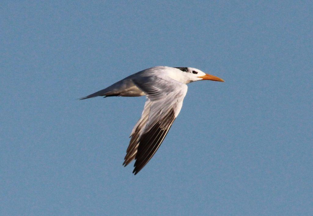 Presumed second-winter African Royal Tern with extensive dark secondary bar, bold dark rear crown crescent but lacking greater and lesser covert bar of first-winter
