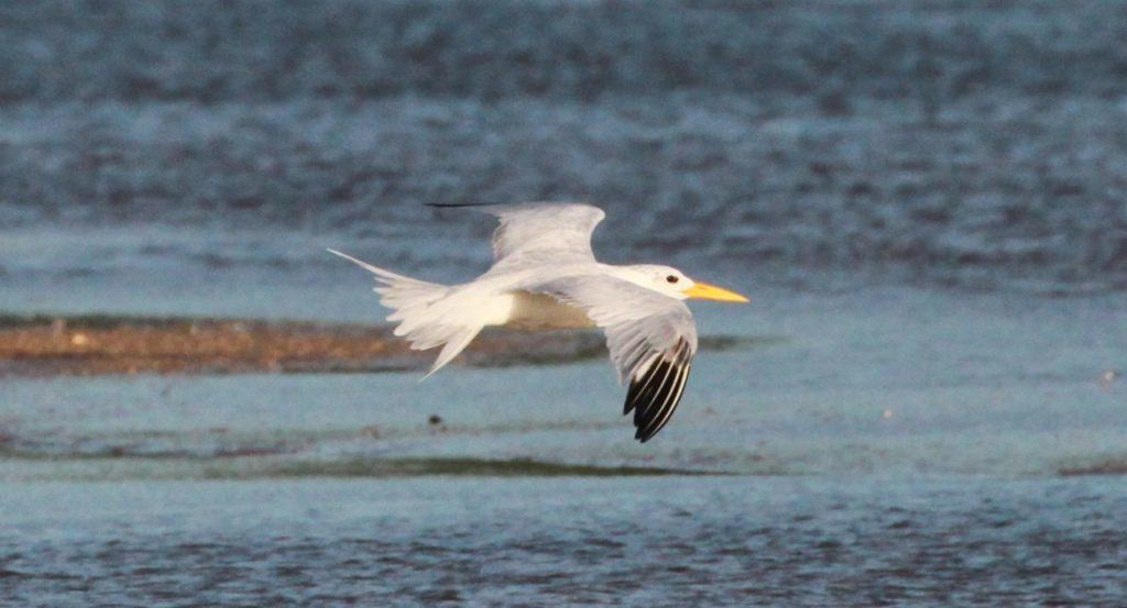 Adult African Royal Tern showing snowy white head, white tail and only slight secondary bar (image over-exposed)