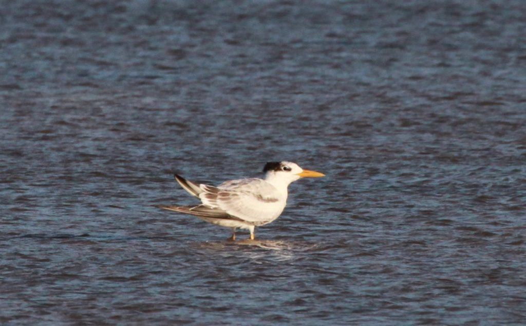 First-winter African Royal Tern