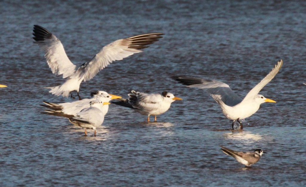 First-wimter and presumed adult African Royal Terns