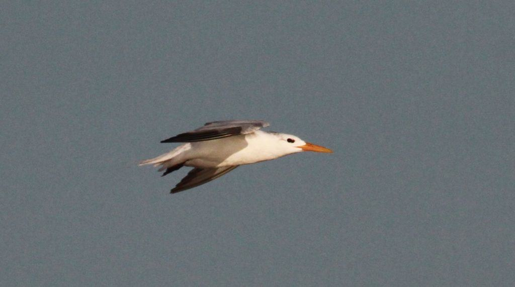 Adult African Royal Tern - almost snowy white head.