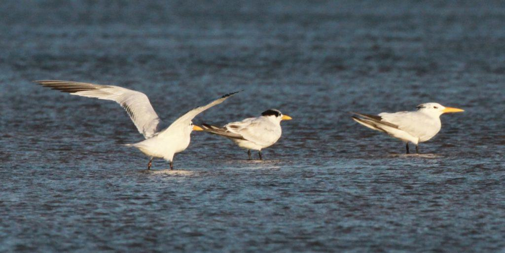 Possible second-winter, first-winter and adult African Royal Terns (L-R). The left hand bird shows a strong dark secondary bar but otherwise adult plumage