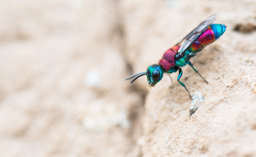 The beautiful Chrysis viridula searching for Odynerus spinipes nests on clay cliffs.