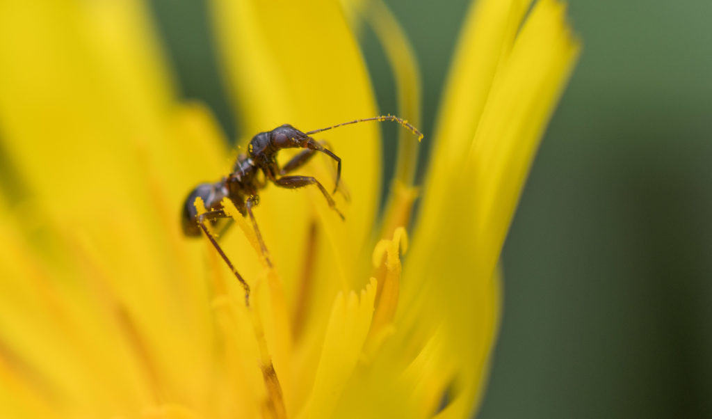 Himacerus mirmicoides nymph mimicking an ant on an Asteracea flower