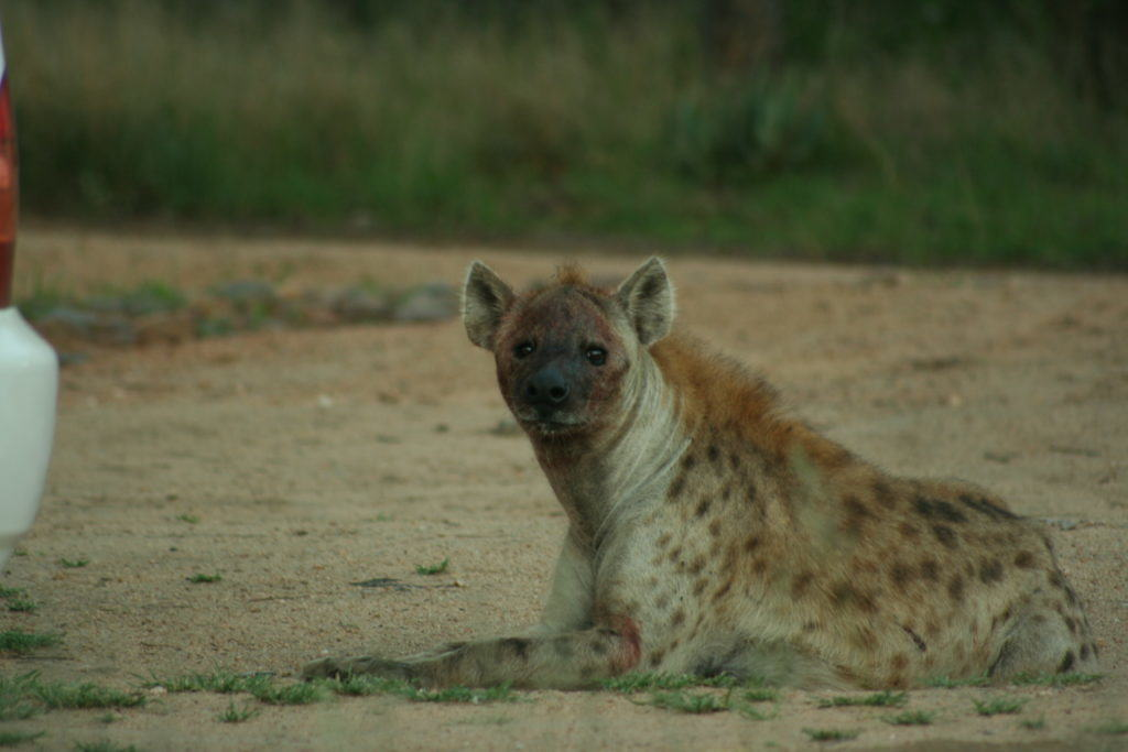 One of the local Hyenas following the front-door Wildebeest attack