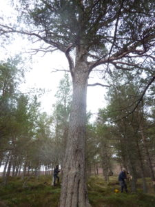 Ring-barking to promote the growth of natural Caledonian pine forests