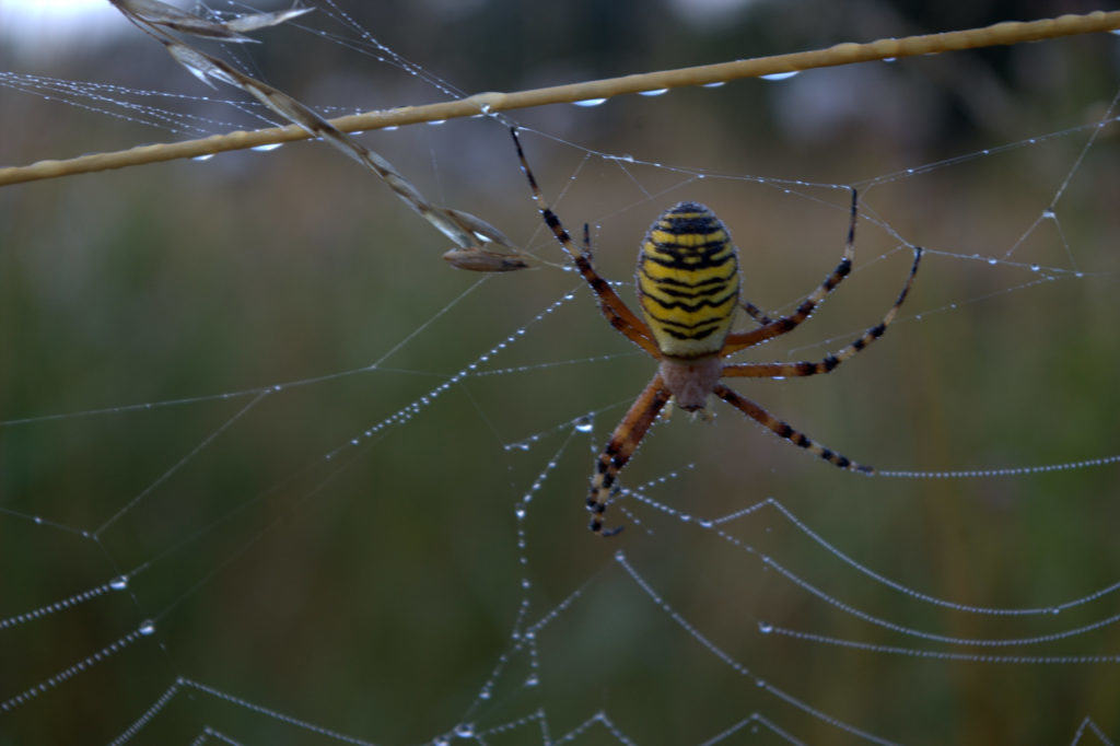 wasp-spider-dawn
