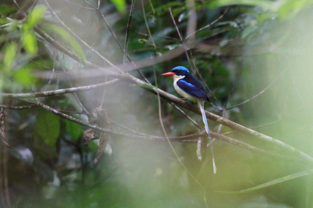 Paradise Kingfisher - one of many species from this region prefixed with 'Paradise'