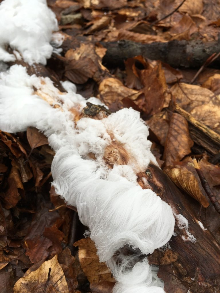 Hair ice can look completely out of place in an otherwise brown and earthy environment.