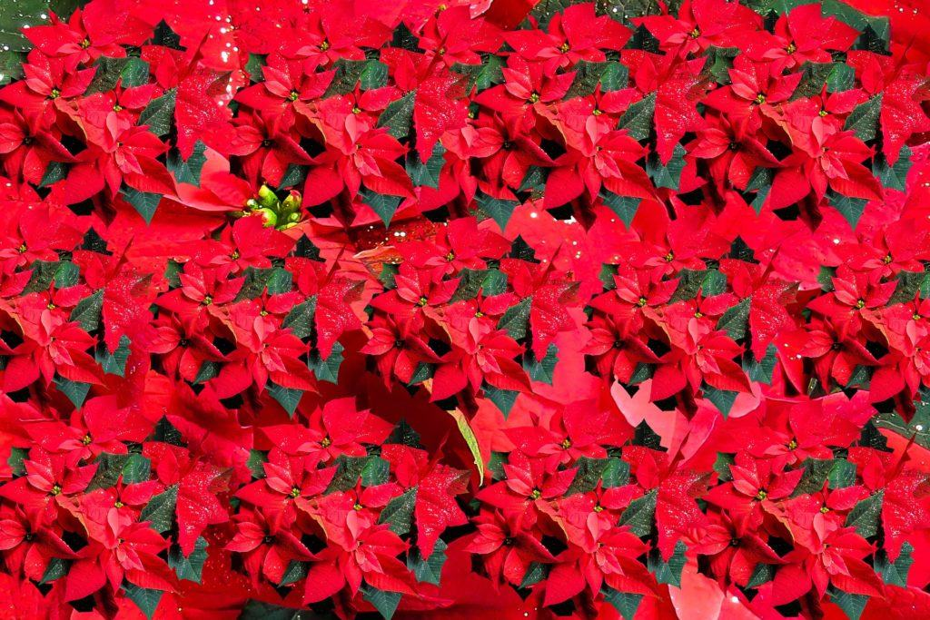 The Poinsettia is a member of the Spurge family, originating from Mexico