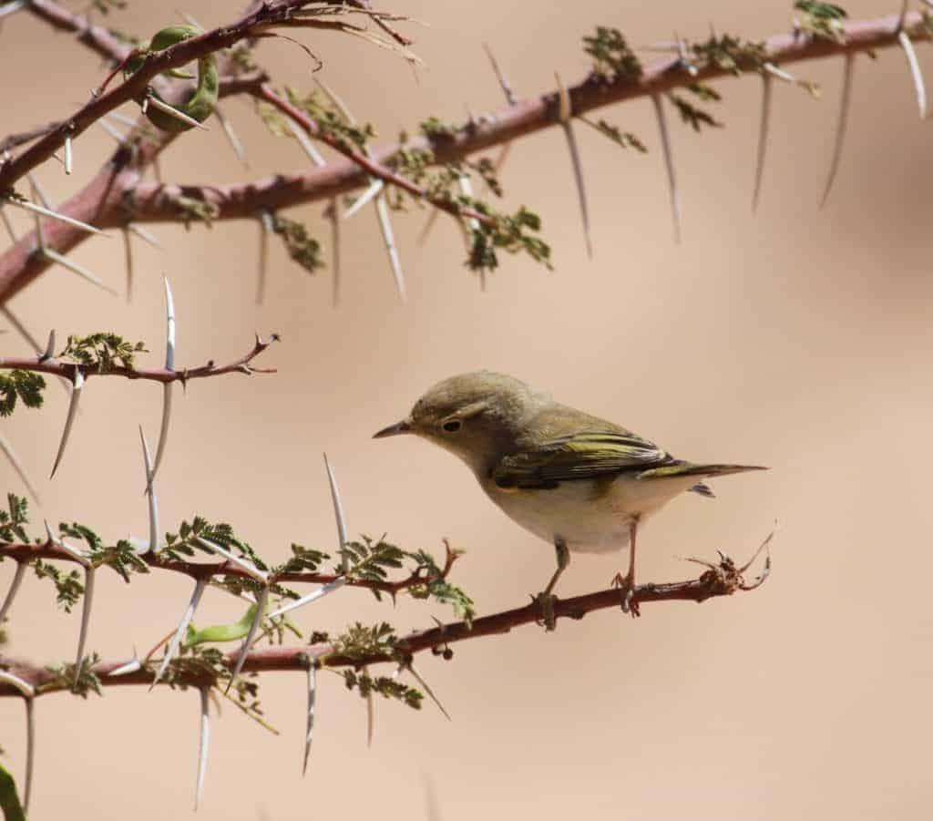 How do birds such as this Bonelli's Warbler survive their desert crossings?