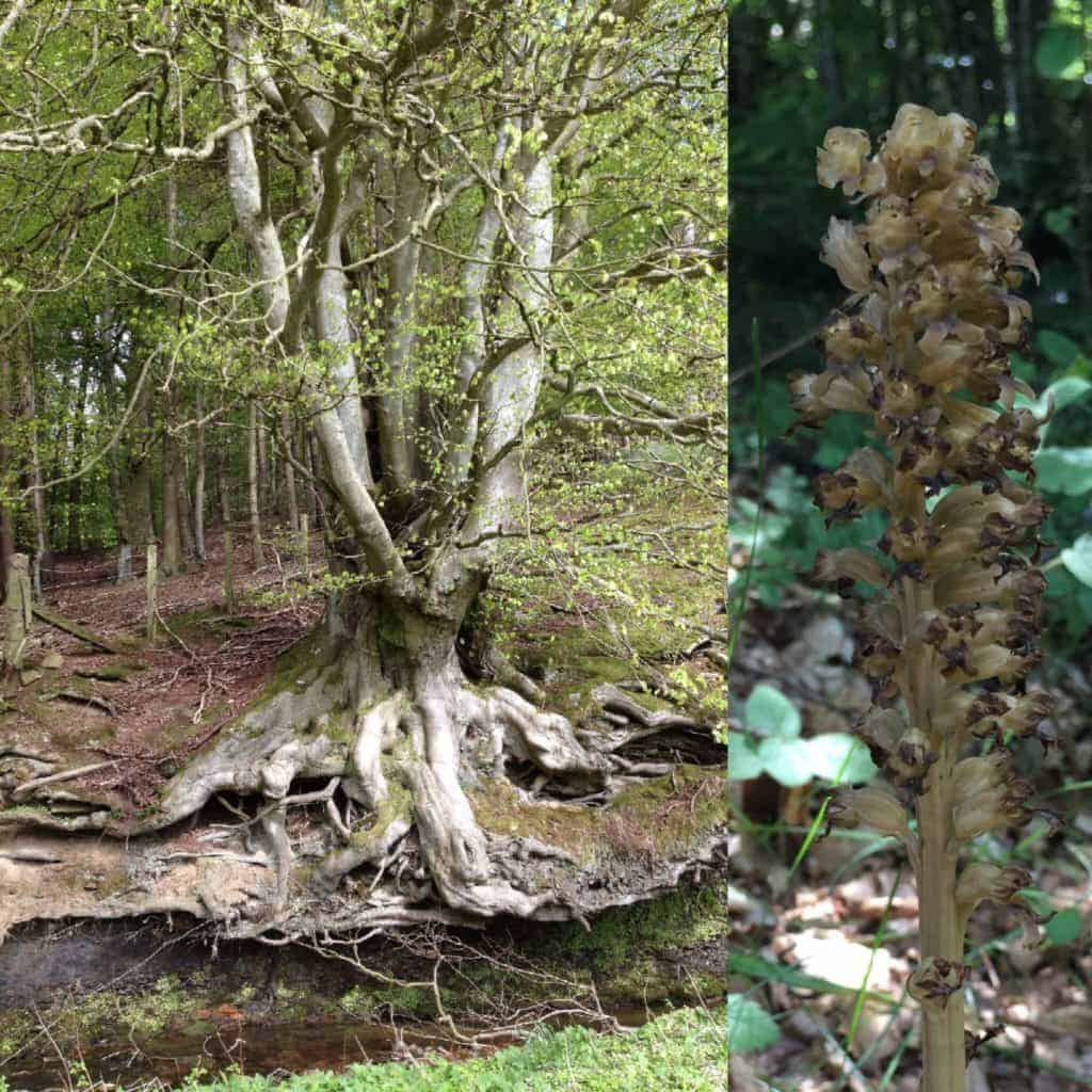 Beech woodland supports little undergrowth but some rarities, such as Bird's-nest Orchid (Neottia nidus-avis), right, find the conditions just right