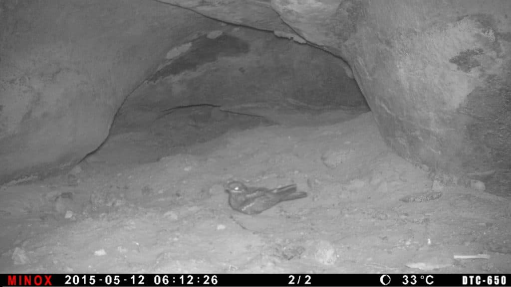 A European Nightjar uses a small cave in the desert on its migration north