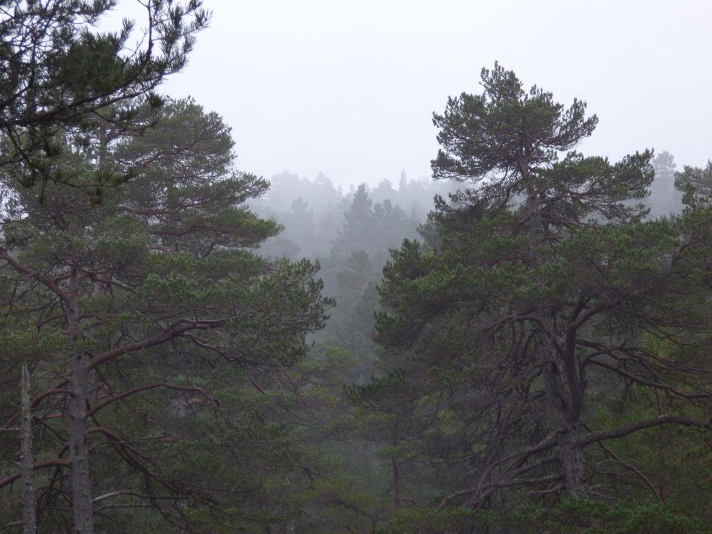 Caledonian Scot's Pine Forest