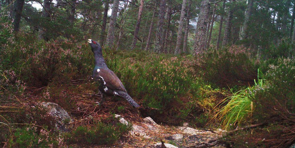 Capercaillie is probably the most charismatic species occurring within the Scots Pine woodland