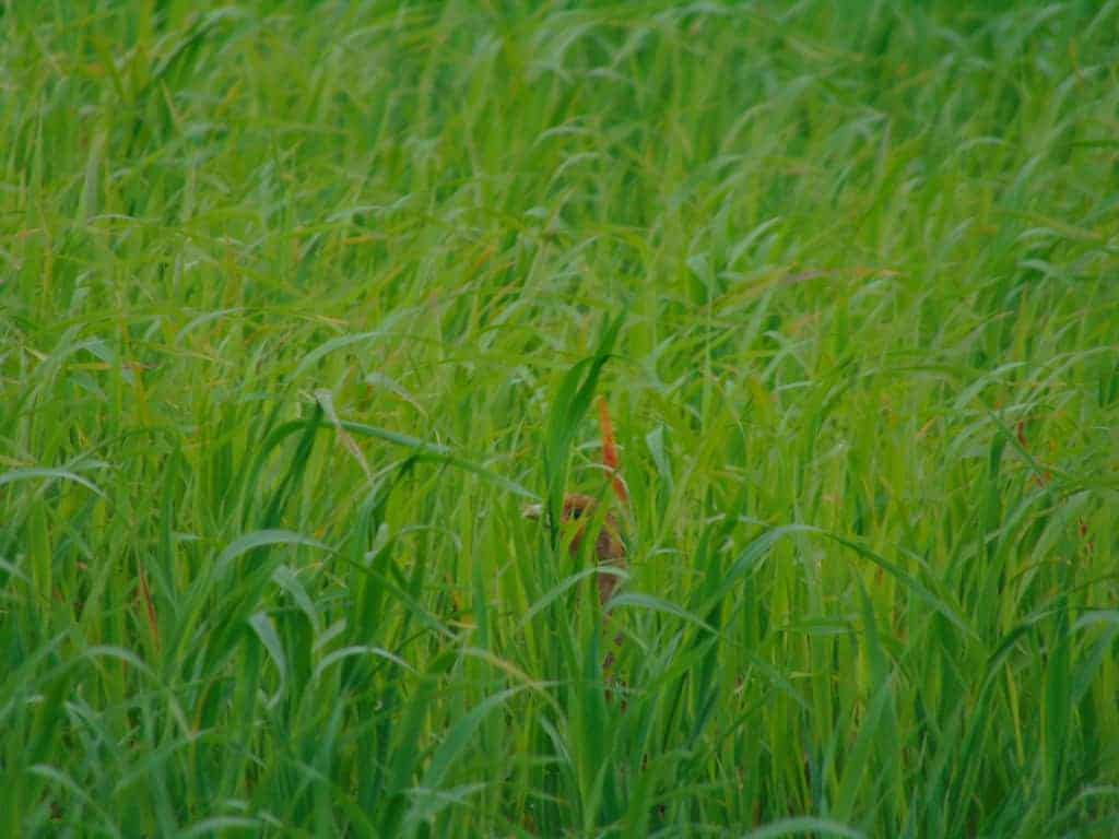 Grey partridge Perdix perdix in arable farmland